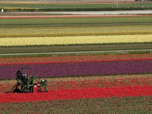 Working in the Tulip Rows in the Bulb Fields, Near Lisse, Holland (The Netherlands) by Gary Cook