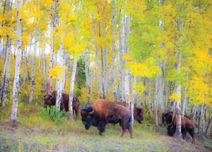Autumn Buffs by Gary Crandall