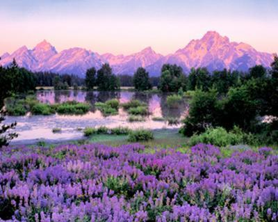 Tetons and Lupine by Gary Crandall