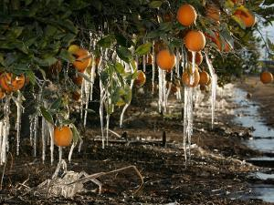 Drip Irrigation Creates Icicles and Forms an Insulation and Way of Protecting Oranges on the Trees by Gary Kazanjian