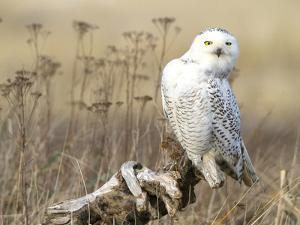 A Snowy Owl (Bubo Scandiacus) Sits on a Perch at Sunset, Damon Point, Ocean Shores, Washington, USA by Gary Luhm