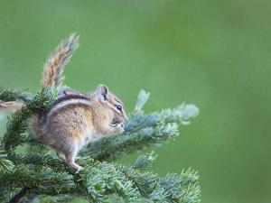 Endemic Olympic Chipmunk Feeds on New Growth of Subalpine Fur Needles by Gary Luhm