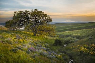 Field of Arrowleaf Balsamroot, Lupine and an Oak Tree at Columbia Hills State Park, Mt. Hood