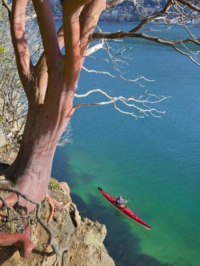 Male Sea Kayaker Paddling Under Madrona Tree (Arbutus Menziesii) in Chuckanut Bay, Washington, USA by Gary Luhm