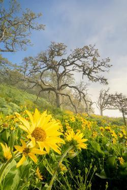 Oregon. Arrowleaf Balsamroot flowers and oak trees in spring bloom at the Rowena Plateau by Gary Luhm