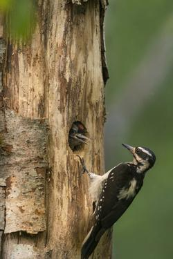 USA, WA. Female Hairy Woodpecker (Picoides villosus) at nest chick in western Washington. by Gary Luhm