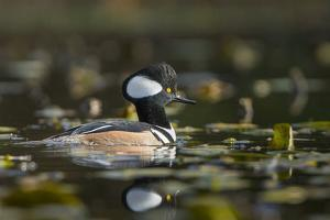 USA, WA. Male Hooded Merganser (Lophodytes cucullatus) among lily pads on Union Bay in Seattle. by Gary Luhm