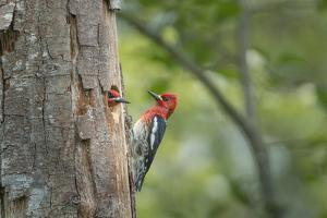 USA, WA. Red-breasted Sapsucker (Sphyrapicus ruber) mated pair at their nest in a red alder snag. by Gary Luhm