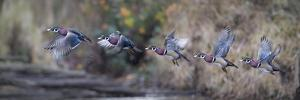 USA, WA. Sequence flight of an adult male Wood Duck (Aix Sponsa) over a marsh by Gary Luhm