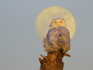 USA, Washington state. A Snowy Owl sits on a perch at sunset, with the full moon behind by Gary Luhm