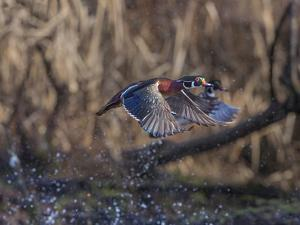 USA, Washington State. Adult male Wood Ducks (Aix Sponsa) taking flight over a marsh. by Gary Luhm