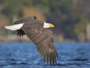 USA, Washington State. An adult Bald Eagle flies low over water on Lake Washington by Gary Luhm
