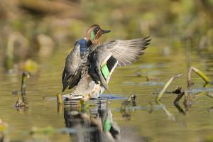 USA, Washington State. Male Green-winged Teal flaps its wings on Union Bay in Seattle. by Gary Luhm