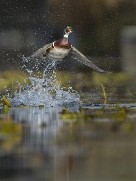 USA, Washington State. Male Wood Duck (Aix sponsa) flying from Union Bay in Seattle. by Gary Luhm