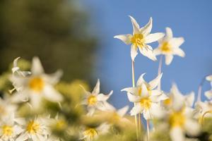 USA, Washington State. Portrait of Avalanche Lily (Erythronium montanum) at Olympic National Park. by Gary Luhm