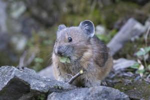WA. American Pika, a herbivore related to rabbits, eats vegetation at Mt. Rainier NP. by Gary Luhm