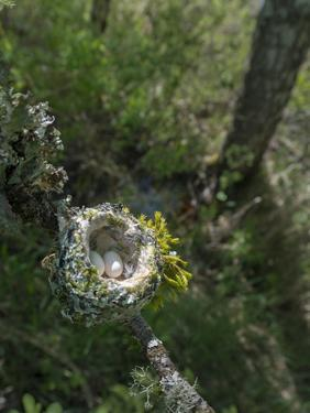 WA. Anna's Hummingbird nest with two coffee-bean-sized eggs on a tree branch by Gary Luhm