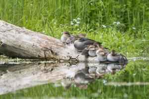 WA. Female Hooded Merganser (Lophodytes cucullatus) on a log with ducklings in Western Washington. by Gary Luhm