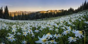 WA. Panorama of Avalanche Lily at dawn in a subalpine meadow at Olympic NP. Digital composite. by Gary Luhm