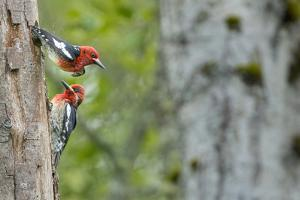 WA. Red-breasted Sapsucker flying from nest in a red alder snag while mate looks on. by Gary Luhm