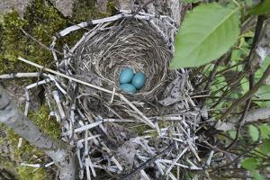 WA. Three American Robin, Turdus migratorius, sky blue eggs in a nest at Marymoor Park, Redmond. by Gary Luhm