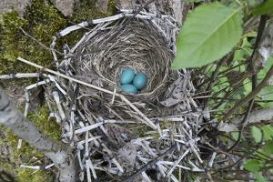 WA. Three American Robin, Turdus migratorius, sky blue eggs in a nest at Marymoor Park, Redmond. by Gary Luhm