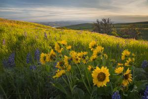 Washington, Field of Arrowleaf Balsamroot and Lupine Wildflowers at Columbia Hills State Park by Gary Luhm