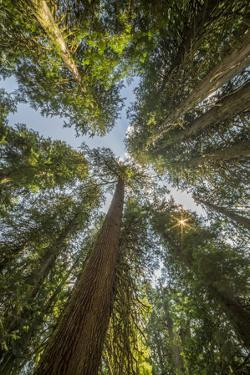 Washington, Looking Up Toward Tall, Mature, Old Growth Conifers at Grove of the Patriarchs by Gary Luhm