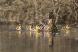 Washington, Mallard Hen with Ducklings on the Shore of Lake Washington by Gary Luhm