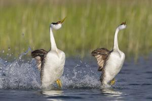Western Grebe in Mating Display at Potholes Reservoir, Washington, USA by Gary Luhm
