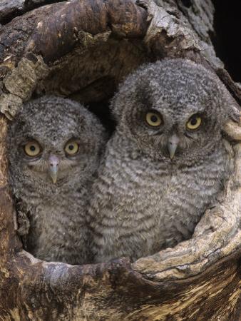 A Baby Screech Owl, Otus Asio, in a Tree Cavity