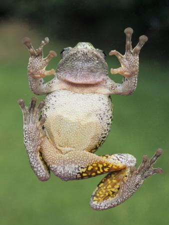 A Gray Tree Frog, Pads Visible by Gary Meszaros