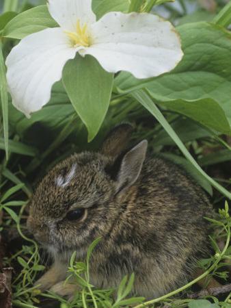 Baby Eastern Cottontail Hiding under a Trillium Flower, Silvilagus Floridanus, Ohio, USA