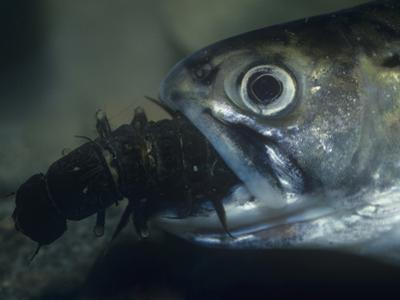 Brook Trout, Salvelinus Fontinalis, Eating a Hellgrammite or Dobsonfly Larva, USA