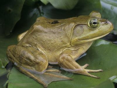 .Bullfrog (Rana Catesbeiana) on a Lily Pad, North America