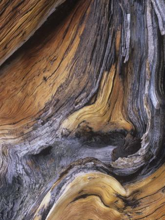 Detail of Ancient Wood of the Bristlecone Pine, Pinus Aristata, Colorado, USA