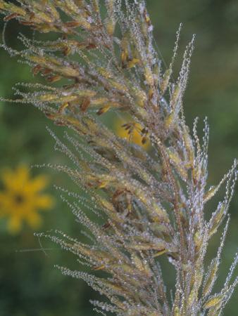 Dewy Indian Grass Flowers, Sorghastrum Avenaceum, USA by Gary Meszaros