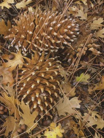 Digger Pine Cones Among Leaf Litter on the Forest Floor, Pinus Sabiniana, California, USA by Gary Meszaros