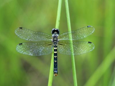 Female Elfin Skimmer Dragonfly (Nannothemis Bella), Ohio, USA