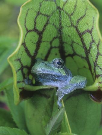 Gray Treefrog, Hyla Versicolor, Sitting in a Pitcher Plant, Sarracenia, Eastern USA by Gary Meszaros