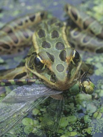 Leopard Frog, Rana Pipiens, with a Captured Dragonfly, North America by Gary Meszaros