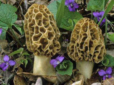 Morel Mushrooms Among Violets, Morchella Esculenta, Central USA