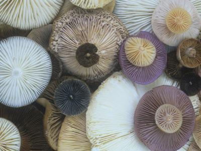 Mushroom Cap Assortment Showing their Gills by Gary Meszaros