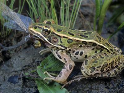 Northern Leopard Frog (Rana Pipiens) Eating a Dragonfly by Gary Meszaros