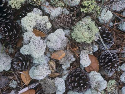 Reindeer Lichens, Cladonia, with Pine Cones on the Forest Floor, Florida, USA by Gary Meszaros