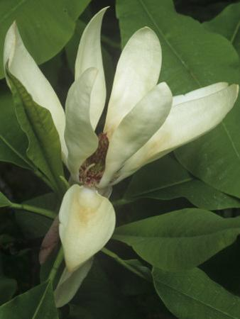 Umbrella Magnolia Flower, Magnolia Tripetala, Eastern North America by Gary Meszaros