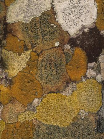 Various Crustose Lichens Growing on the Bark of a Mangrove Tree, Florida, USA by Gary Meszaros