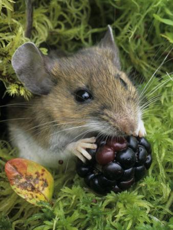 White-Footed Mouse, Peromyscus Leucopus, Eating a Berry, Ohio