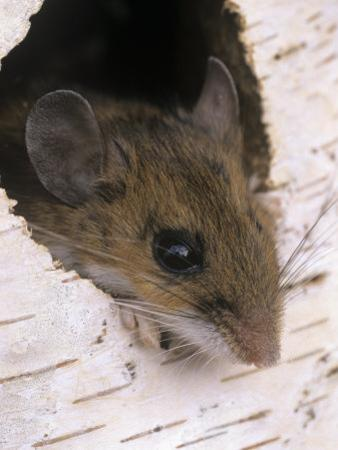 White-Footed Mouse, Peromyscus Leucopus, Peering from a Hole in a Birch Tree, Ohio, USA