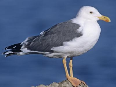 Yellow-Footed Gull (Larus Livens) Salton Sea, California, USA by Gary Meszaros